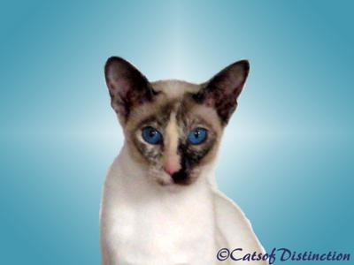 Cats of distinction kachelle pawsawhyl - Point de saignee ...